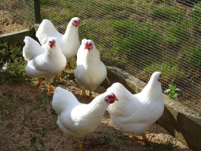 Poules wyandotte naine for Race de poules naines